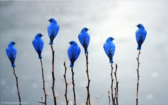 bluebirdsinmontana