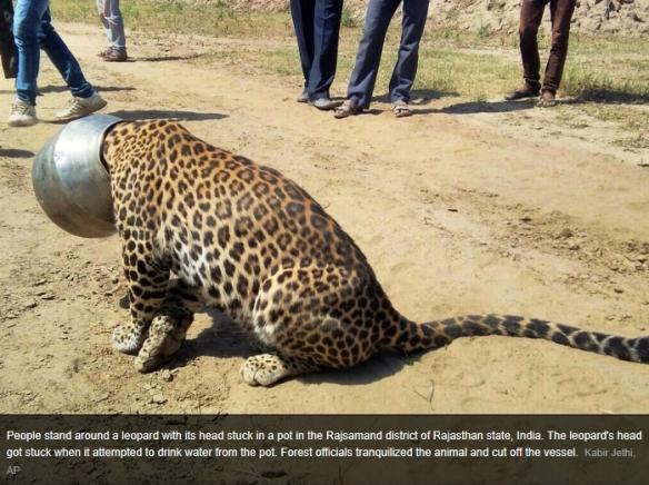 leopard_stuck.