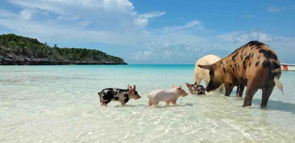 pigs_on_vacation