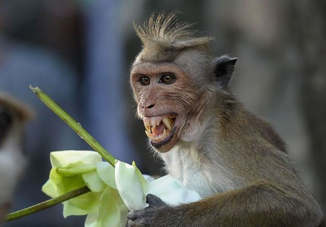 monkey_ishara_kidkara_afp_getty_images