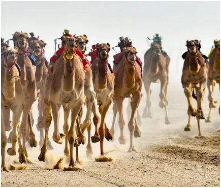 robots_camels_noufal_ibrahim_epa-efe